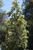 Catalina Cherry in flower