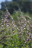 This bush mallow is native to South California and does well in Los Angeles and San Diego.