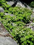 Thimble berry up in Kings Canyon
