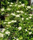 Red  stem dogwood is also known as Cornus sericea subsp. sericea. These plants are in flower in the Sierras