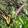 Western Tiger Swallowtail in the Southern Sierras