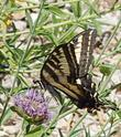 A Pale Swallowtail on Monardella antonii
