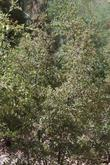 Although Scrub Oaks can become small trees, sometimes even a real tree, they are commonly a large bush.