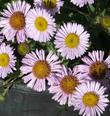 Erigeron 'WR' ,Wayne Roderick Daisy.. It's kind of funny that Wayne didn't want his name on the plant, but it's a great plant and WR (which he originally called it) didn't do him justice.