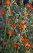 Sphaeralcea emoryi, Emory's Desert Mallow  flowers are a deep orange.