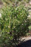 Arctostaphylos patula in the ground in Santa margarita. Greenleaf manzanita becomes a nice 6 foot bush where the snow doesn't crush it. - grid24_3