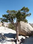 Pinus monophylla in the rocks at Joshua tree