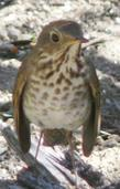 Hermit-thrush, Datharus guttatus looking dejected. - grid24_3