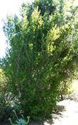 The Island Mountain Mahogany is about twenty years old. No pruning and you can see the form.