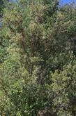 Cercocarpus betuloides in the wild. This Mountain Mahogany  is about 30 years old. In most areas of California Mountain Mahogany makes a 5-6 ft. drought tolerant hedge. Useful in places like Los Angeles where green seems to be missing.