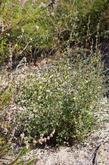 This is a young Mountain Mahogany after a couple of years with no water. It is mixed in with Trichostema and Chamise here. But nearby it's mixed with scrub oak and Pitcher sage. - grid24_3