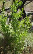 Create your own desert mountain oasis with Desert Olive and Deer Grass