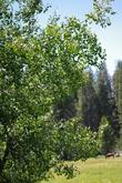 Populus tremuloides, Quaking aspen at 7400 ft. in the Sierras