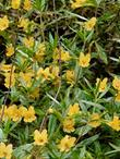 The sticky monkey flower