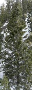 White fir in the Mt. Pinos area. Incredibly slow for us.