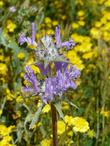 Salvia carduacea, Thistle sage out in Carrizo plains