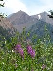Fireweed, Epilobium angustifolium, up in the Sierras