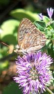 Different species of butterflies, like this fritillary, sip nectar from the flowers of Monardella subglabra, Mint Bush.