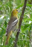 A Bullock's Oriole, Icterus bullockii, collecting Asclepias eriocarpa fibers for a nest