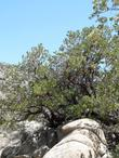 Big Berried manzanita in rocks,  on the north side of the San Bernardino Mountains between Lucerne and Big Bear.