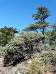 Arctostaphylos obispoensis mazanita  and Sargent Cypress tree on serpentine.