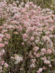 Cliff buckwheat can be showy and hold it's flowers for months.