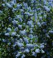 Ceanothus Ray Hartman can be used as a hedge.