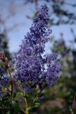 The flowers of Ceanothus Ray Hartman.