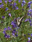 Our Penstemon 'Margarita BOP' with a swallowtail butterfly