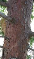 Calocedrus decurrens, Incense Cedar trunk.