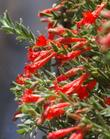 PHAT Margarita flowers. This California fuchsia is a hybrid of two plants from Southern California. This one does well in San Diego and Los Angeles.
