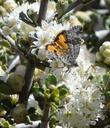 There are about 20 species of Catocala, Underwing Moths in California. I'm not sure which one is on the Ceanothus Snowball flower. The larva live on Oak trees.