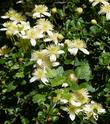 Chaparral Clematis in the California chaparral