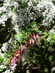 Ceanothus sorediatus grows in the wild with Ribes speciosum