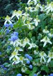 The image for the  Clematis ligusticifolia, Western White Clematis.with Ceanothus
