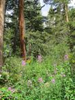 Fireweed up in the Inyo National Forest.