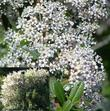Buckbrush flowers can range from white to pale pink into almost blue. They vary largely by spring temperatures. Warmer is whiter. Cooler is bluer. Pink is an unknown..