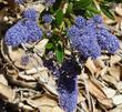 Joyce Coulter Ceanothus has blue flowers on a tough high groundcover.