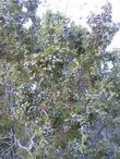 Here is a photo of the glaucous, blue, fruits of Juniperus californica, California Juniper.