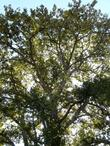 looking up into a Populus trichocarpa, Black Cottonwood