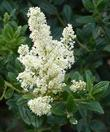 Ceanothus Snowflurry has a white flower on a medium size dark green bush.