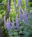Grape Soda Lupine in our garden