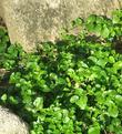 Yerba Buena, Satureja douglasii is a beautiful green groundcover  in part shade with rocks. - grid24_3