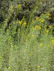 Solidago spathulata, Coast Golden Rod tall
