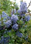 Ceanothus Mountain Haze is beautiful in coastal gardens.