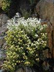 Kaweah River bush monkeyflower growing on a rock wall