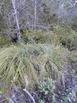 Xerophyllum tenax, Indian Basket Grass in a coastal pine forest.