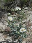 Argemone munita, Prickly Poppy, growing in one of its natural open, sunny habitats, chaparral edges.