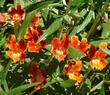 Santa Susana Monkey Flower, Diplacus  rutilus, has a BIG red flower and grows native in North Los Angeles, Pasadena. Los Angeles has GREAT native plants!