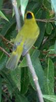 Wilson's Warbler, Wilsonia pusilla is beautiful and really cute - grid24_3